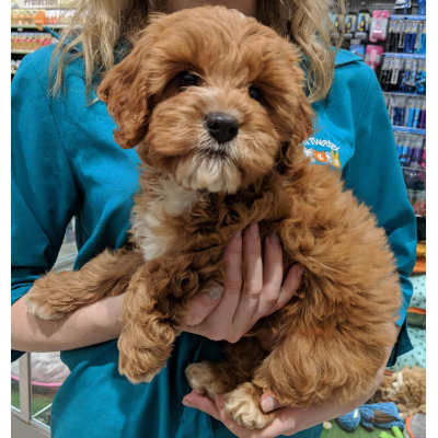 Male Cavoodle Puppies