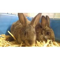 Cross Breed Rabbits