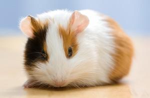 guinea pig care guide